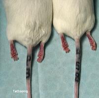 Mouse Identification Methods Biomethodology For