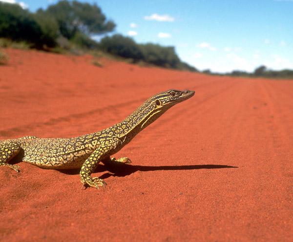 Gould S Goanna Lizzard Murchison Western Australia